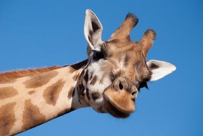 giraffe-1124451_960_720